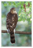 Epervier de CooperCooper's Hawk