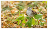 Bruant à gorge blancheWhite-throated Sparrow