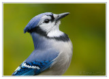 Geai bleuBlue Jay