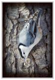 Sittelle à poitrine blancheWhite-breasted Nuthatch
