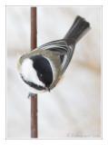 Mésange à tête noireBlack-capped Chickadee