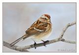 Bruant hudsonienTree Sparrow