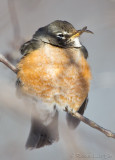 Merle d'AmériqueAmerican Robin