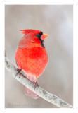 Cardinal rougeNorthern Cardinal
