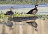 Canard branchus / Wood ducks