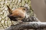 Troglodyte mignon / Winter Wren