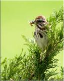 1er juin 2006 • Bruant chanteur / Song Sparrow