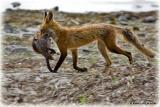 25 juin 2006 • Renard roux / Red Fox