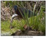 Héron vertGreen Heron