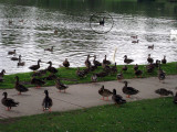 A black swan in the background