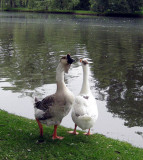 The duck and its mate communicating