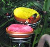 In the butterfly house, Postman butterflies