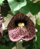A flower of the Pelican vine