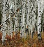 aspen forest in fall