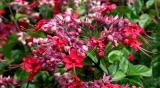 clump of red flowers