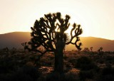 golden halo of Joshua tree