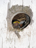 Another Baby Bird in the bird house