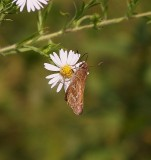 Spread-winged Skipper Visits an Aster