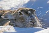 White-tailed-Jackrabbit.jpg