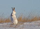 white-tailed-jackrabbit-VI.jpg
