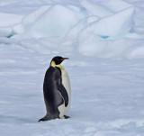Emperor-Penguin-small.jpg