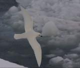Snow-Petrel-IV.jpg