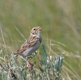 Bairds-Sparrow-II.jpg