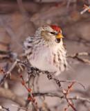 Common-Redpoll-VII.jpg