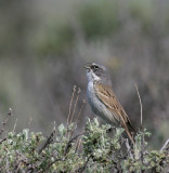 sagebrushsparrow.jpg