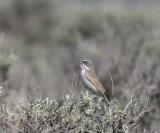 sage-sparrow-2.jpg