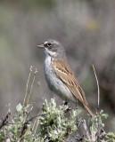 Sage-sparrow-3.jpg