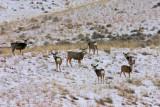 Mule-Deer III.jpg