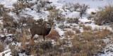 Mule-Deer-rut-I.jpg