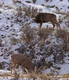 mule-deer-rut-III.jpg