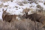 mule-deer-rut-IV.jpg
