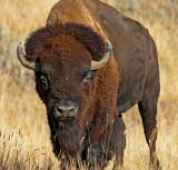 bison-bull.jpg