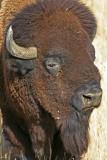 bison-portrait.jpg