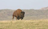 Missouri-River-Bison.jpg