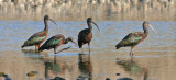 White-faced-ibis-II.jpg