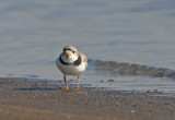 Piping-Plover.jpg