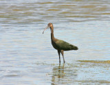 white-faced-ibis.jpg
