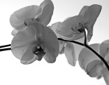 orchid-bw.jpg
