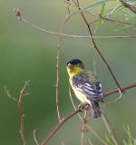 lesser-goldfinch.jpg