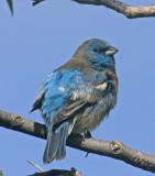 Lazuli-Bunting.jpg