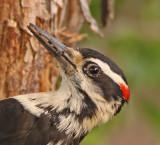 hairy-woodpecker-food.jpg