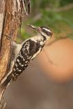 Hairy-Woodpecker-XIII.jpg