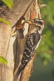 Hairy-Woodpecker-XVI.jpg