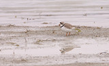piping-plover-III.jpg