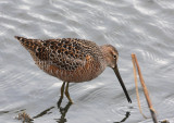 Long-billed Dowitcher  14 May 08   IMG_0183.jpg