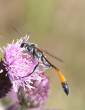 Wasp sp   12 Jul 09   IMG_4643.jpg